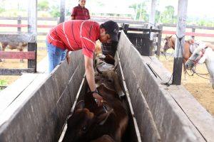 Em Bonfim, gado recebe vacina